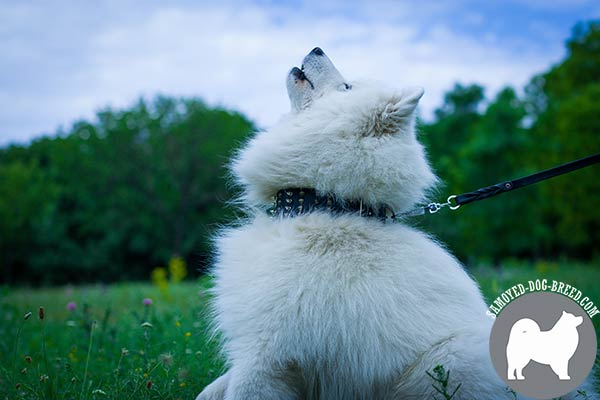 Extravagant Spiked and Studded Wide Leather Samoyed Collar for Everyday Walking