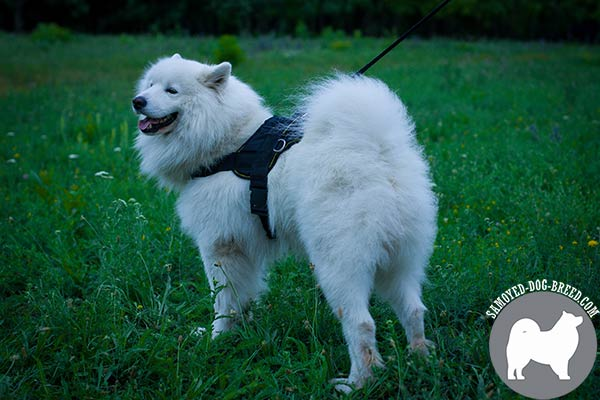 Nylon Samoyed Harness for Obedience Training