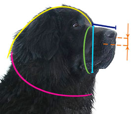How to measure your dog for good fit muzzle